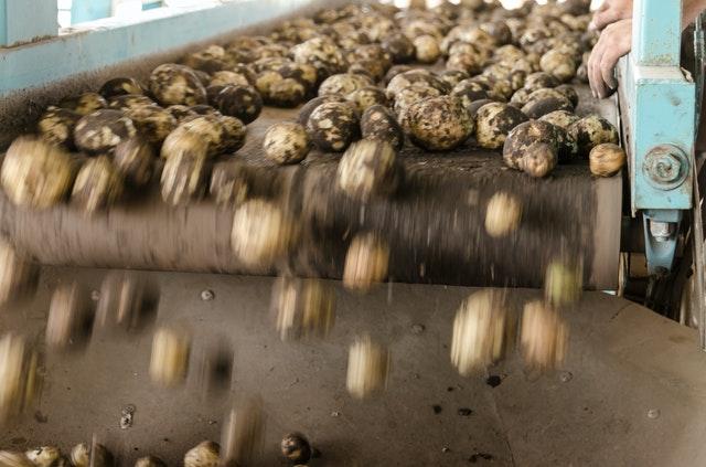 Image d'une production de pomme de terre
